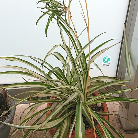 CHU-PA ブログ 観葉植物 オリヅルラン
