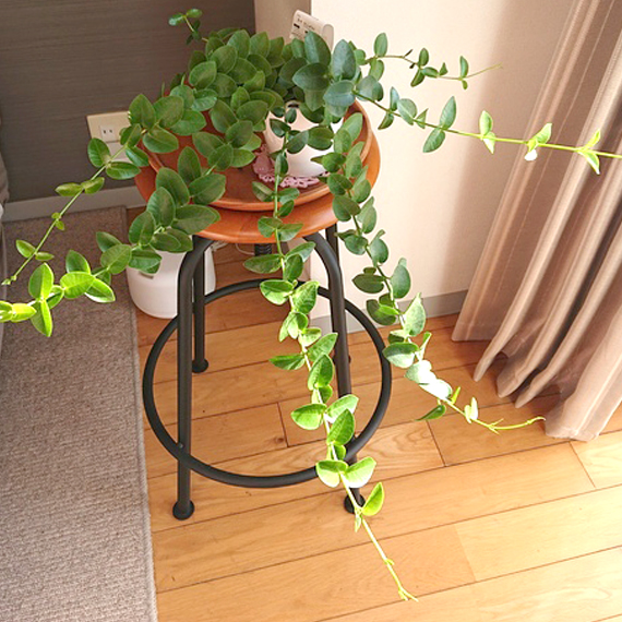 CHU-PA ブログ 観葉植物 ホヤ クミンギアナ