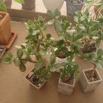 CHU-PA ブログ 観葉植物 金のなる木